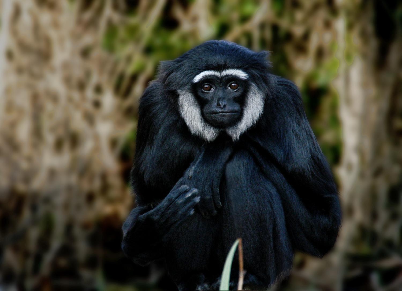 [脊椎]                  长臂猿      各种动物英语单词大全-分类生